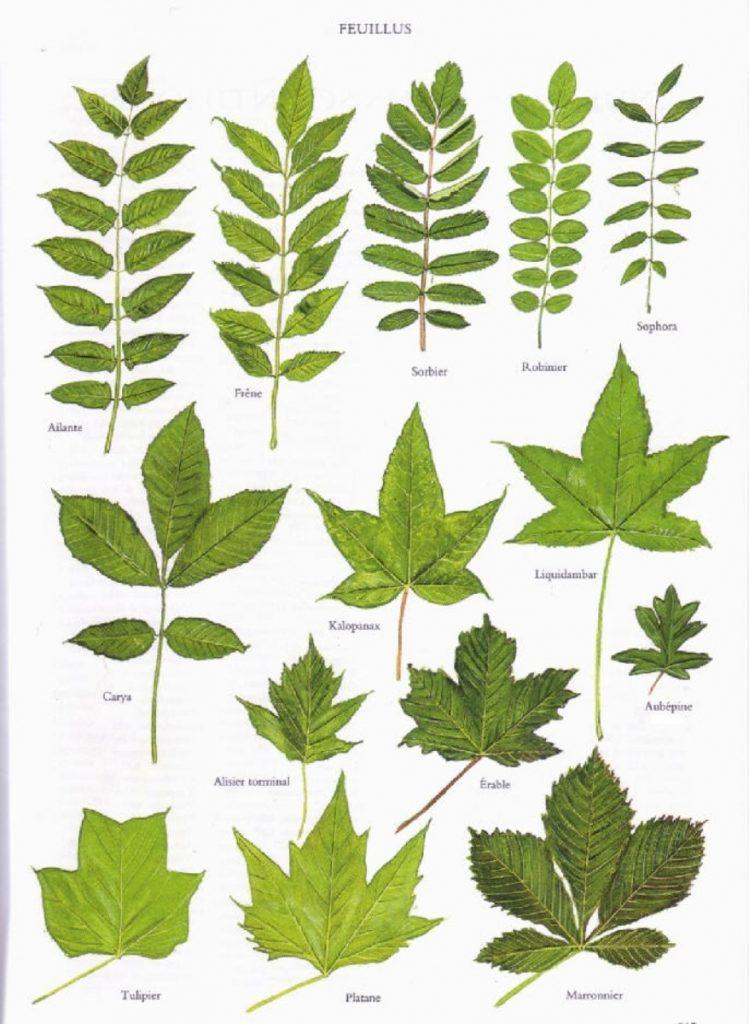FR-Leaves